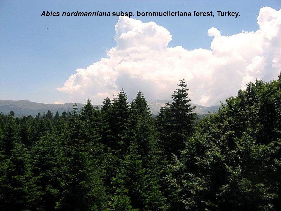 Abies nordmanniana subsp. bornmuelleriana forest, Turkey.