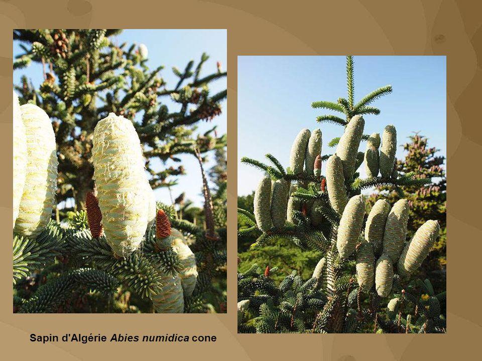 Sapin d Algérie Abies numidica cone