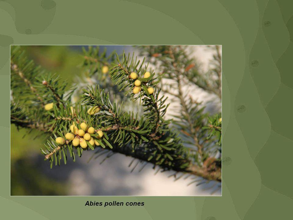 Abies pollen cones
