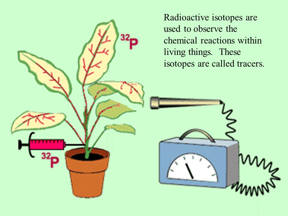 Radioactive isotopes are used to observe the chemical reactions within living things.