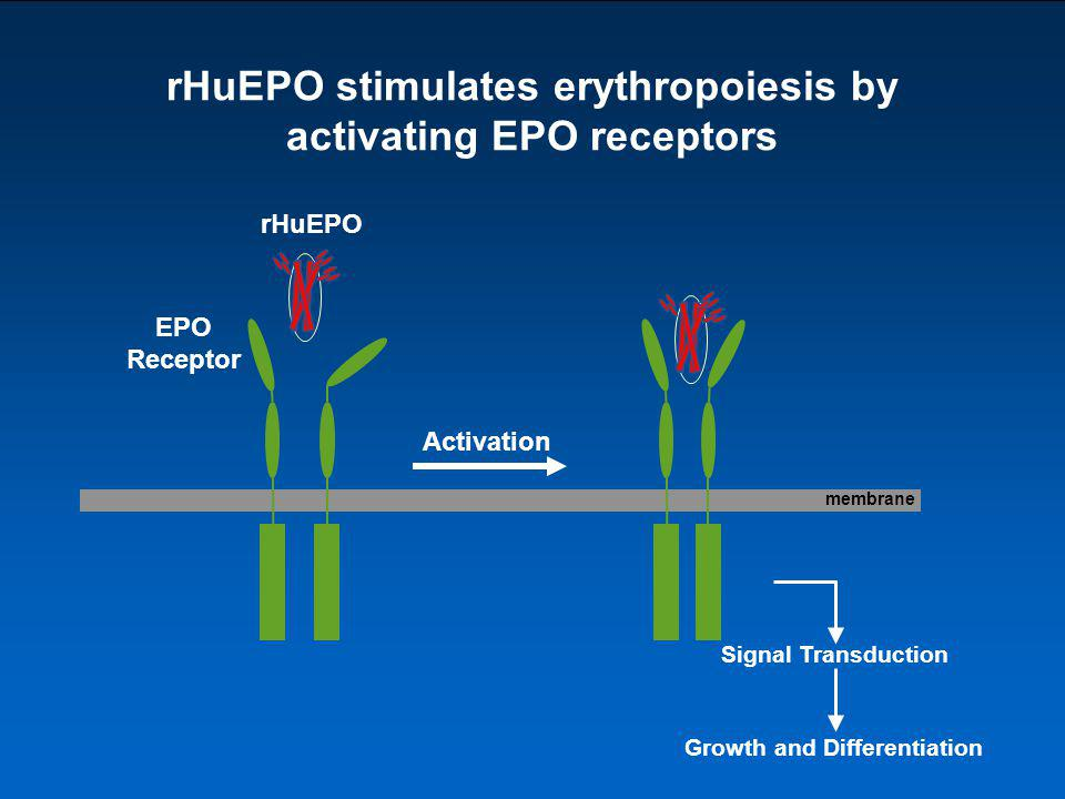 rHuEPO stimulates erythropoiesis by activating EPO receptors membrane Activation EPO Receptor rHuEPO Signal Transduction Growth and Differentiation