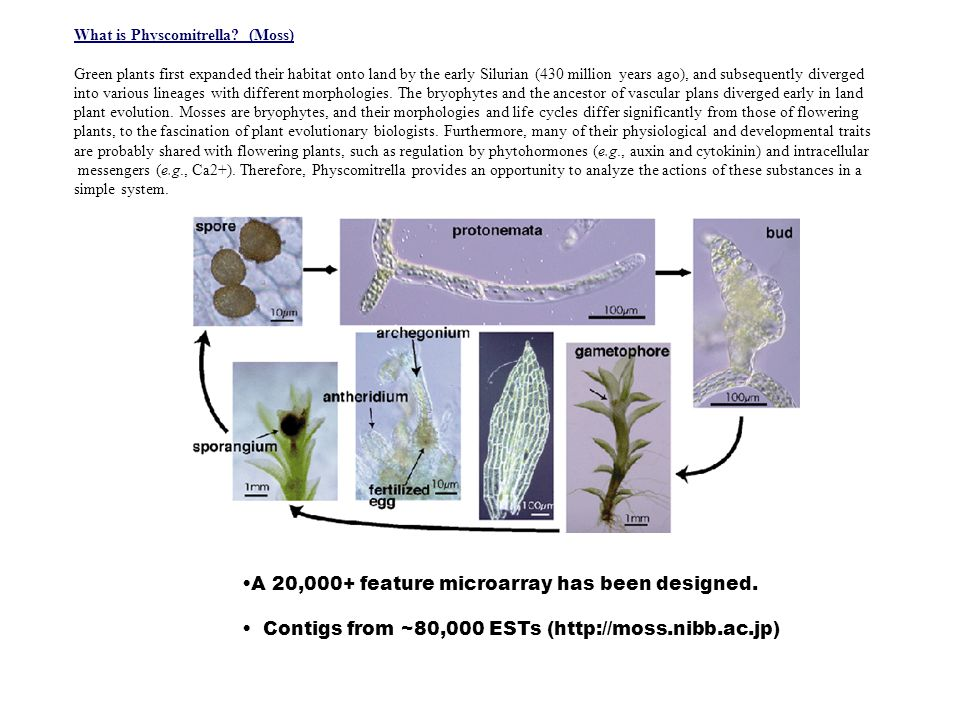 What is Physcomitrella.
