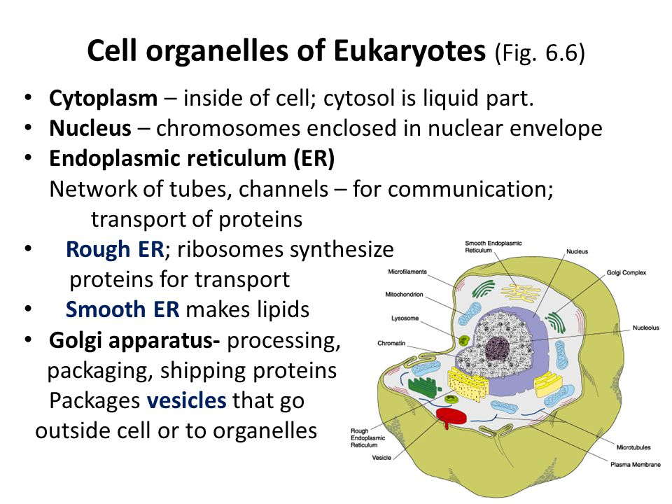 Cell organelles of Eukaryotes (Fig. 6.6) Cytoplasm – inside of cell; cytosol is liquid part.
