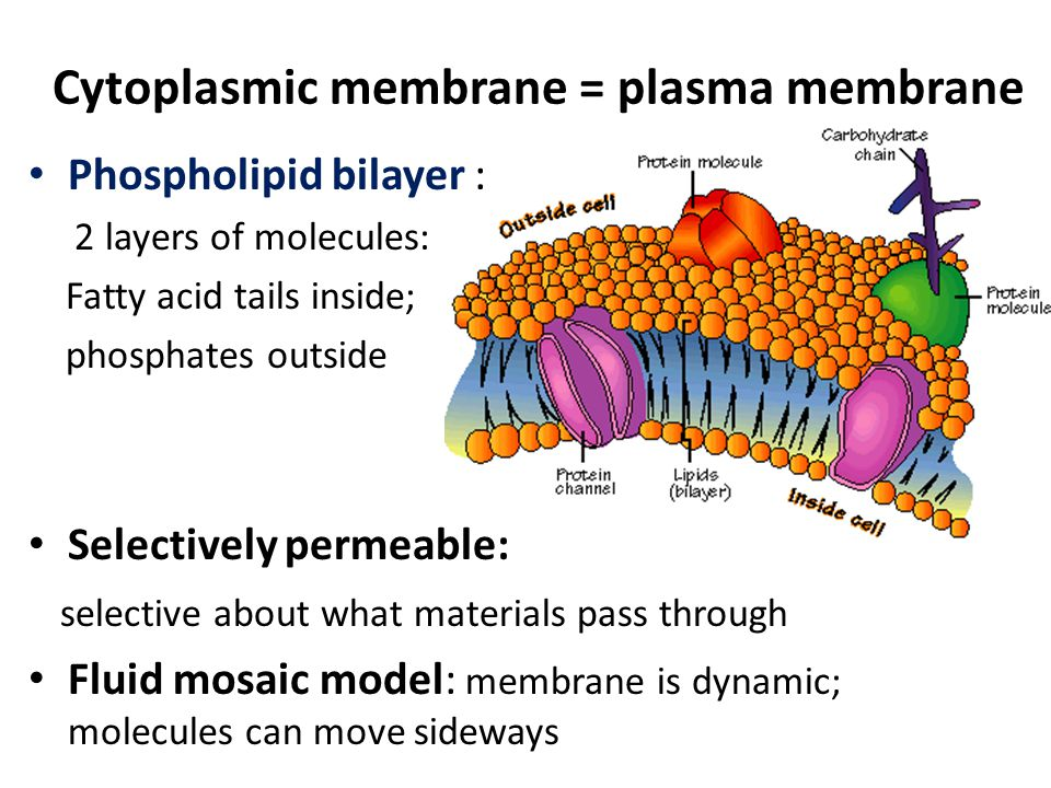 Cytoplasmic membrane = plasma membrane Phospholipid bilayer : 2 layers of molecules: Fatty acid tails inside; phosphates outside Selectively permeable: selective about what materials pass through Fluid mosaic model: membrane is dynamic; molecules can move sideways