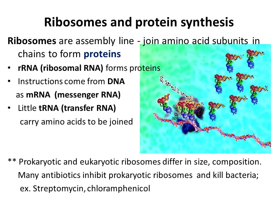 Ribosomes and protein synthesis Ribosomes are assembly line - join amino acid subunits in chains to form proteins rRNA (ribosomal RNA) forms proteins Instructions come from DNA as mRNA (messenger RNA) Little tRNA (transfer RNA) carry amino acids to be joined ** Prokaryotic and eukaryotic ribosomes differ in size, composition.