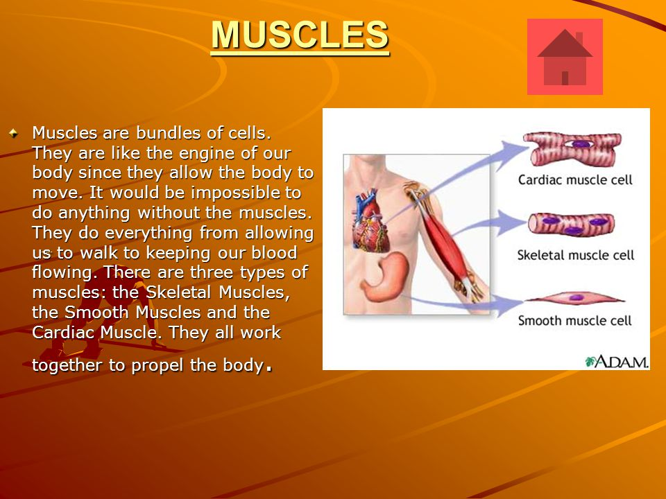 Skeletal Muscles Humans have more than 600 skeletal muscles, which differ in size and shape according to the jobs they do.