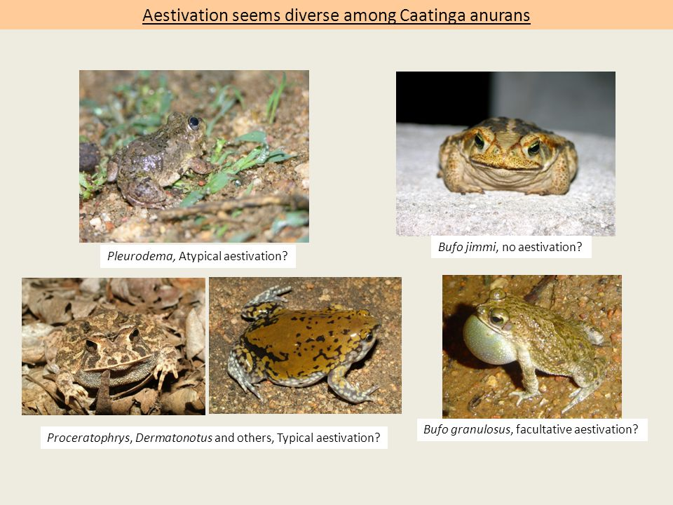 Aestivation seems diverse among Caatinga anurans Proceratophrys, Dermatonotus and others, Typical aestivation.