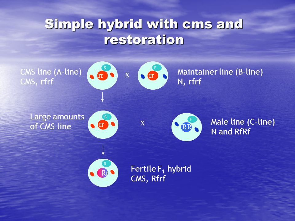 Simple hybrid with cms and restoration Maintainer line (B-line) N, rfrf rr S Large amounts of CMS line x CMS line (A-line) CMS, rfrf rr F SF x RR Male