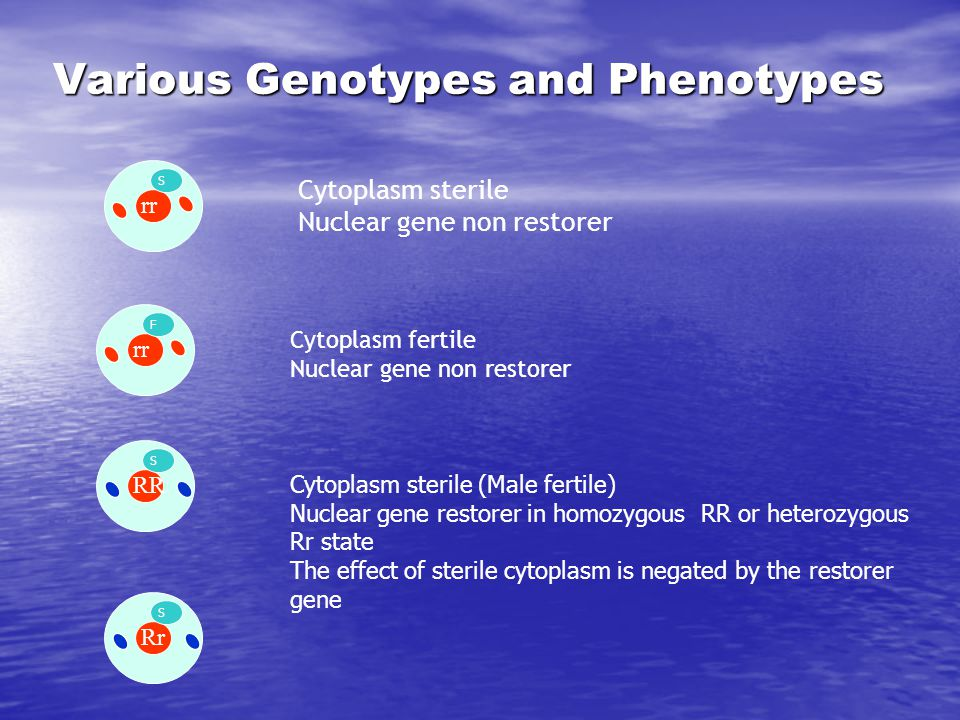 Various Genotypes and Phenotypes rr S RR S rr F Cytoplasm sterile Nuclear gene non restorer Rr S Cytoplasm fertile Nuclear gene non restorer Cytoplasm
