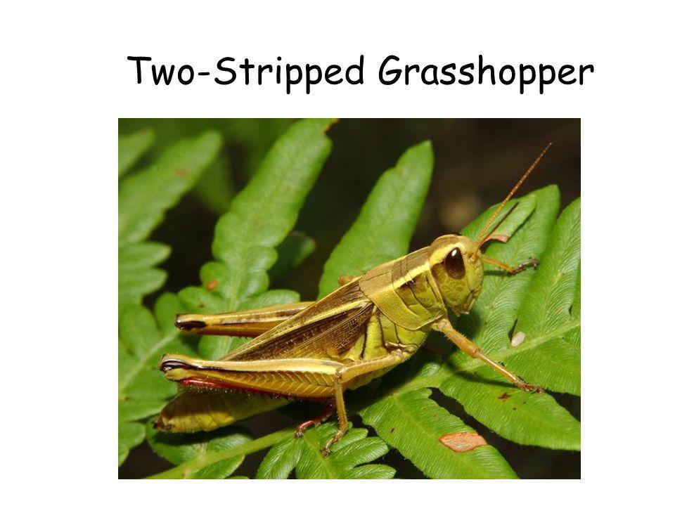 Two-Stripped Grasshopper