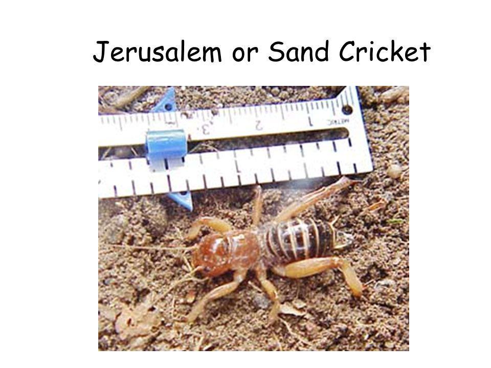 Jerusalem or Sand Cricket
