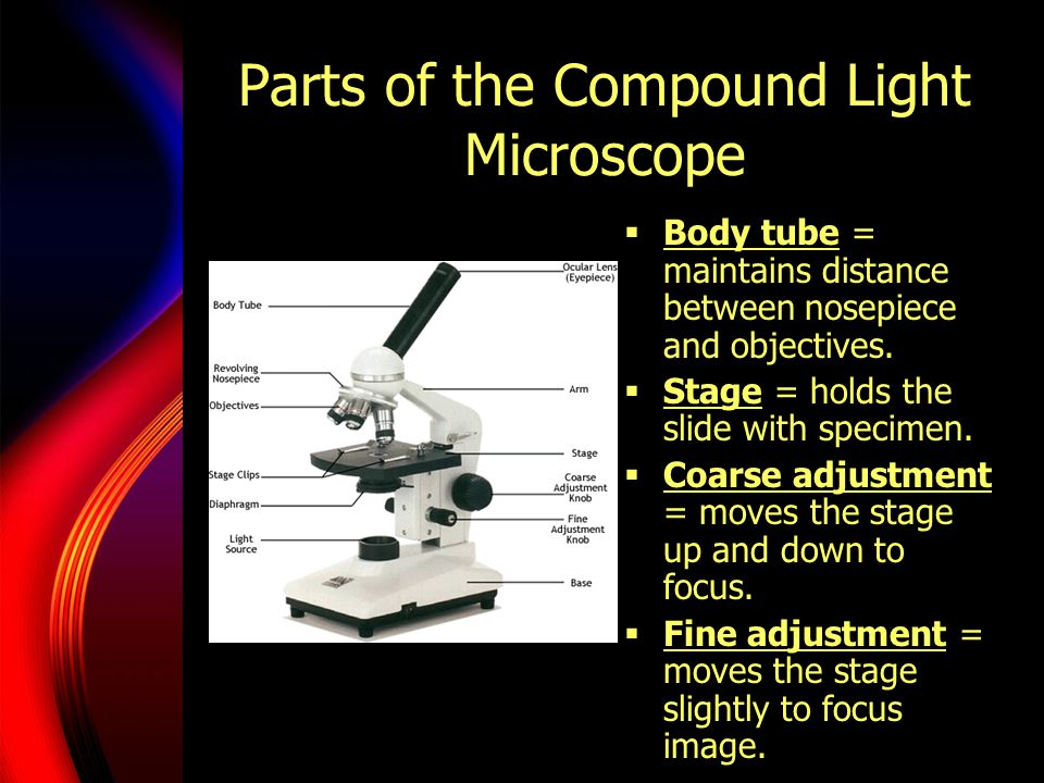 Parts of the Compound Light Microscope  Body tube = maintains distance between nosepiece and objectives.
