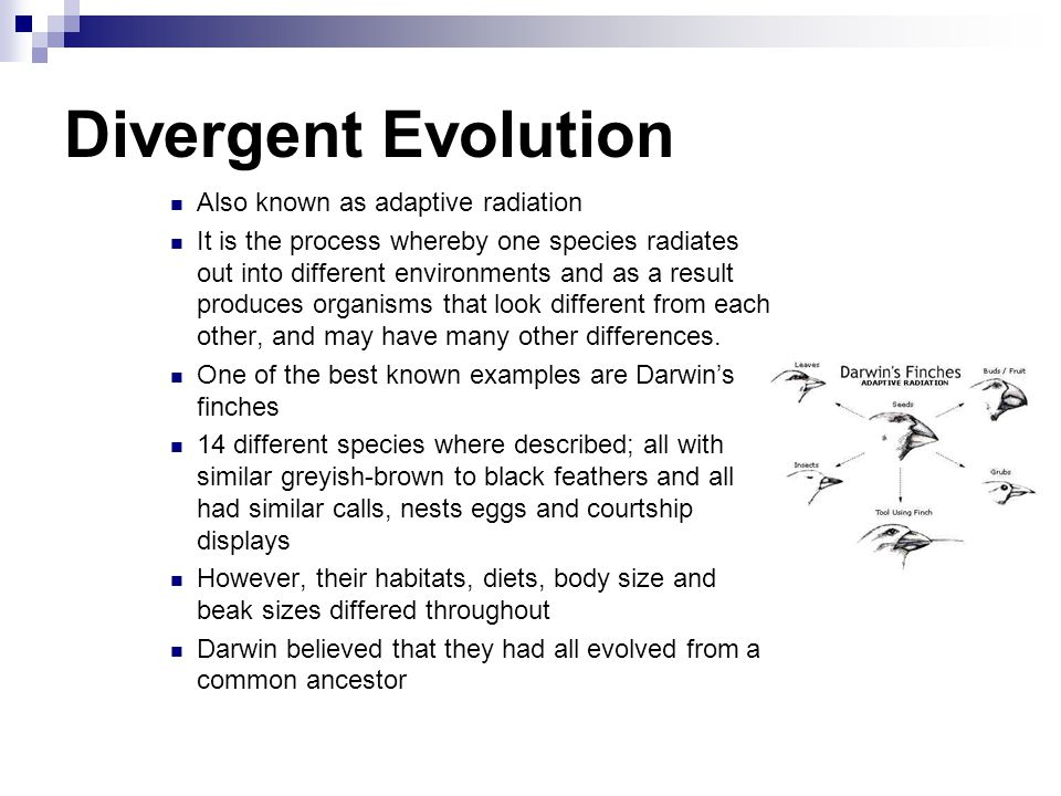 Convergent evolution Natural selection over many generations can result in similar adaptations in species that live in similar environments, even though they may be unrelated This is called evolutionary convergence For example, the seal and the dolphin both live in the ocean They have flippers as limbs, they are strong swimmers, can hold their breath longer than most mammals, and they have a layer of fat under their skin.