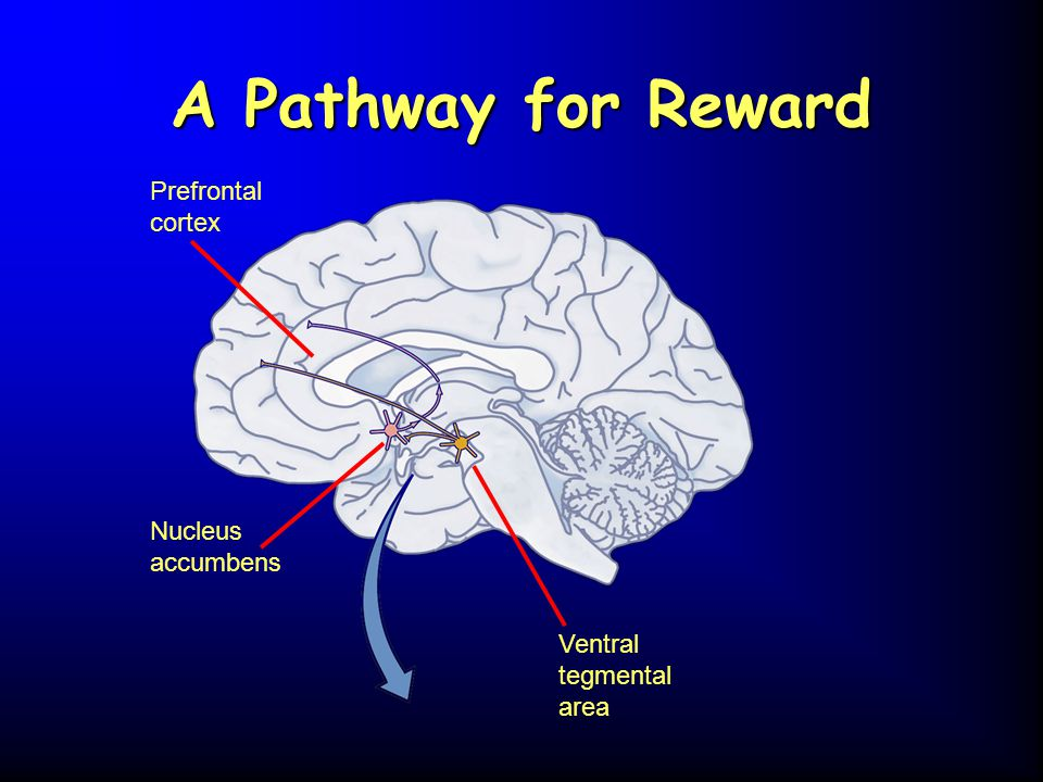 A Pathway for Reward Prefrontal cortex Nucleus accumbens Ventral tegmental area