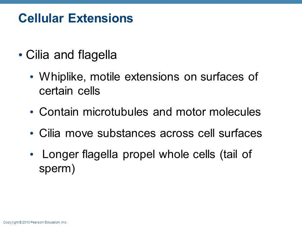 Copyright © 2010 Pearson Education, Inc. Cellular Extensions Cilia and flagella Whiplike, motile extensions on surfaces of certain cells Contain micro