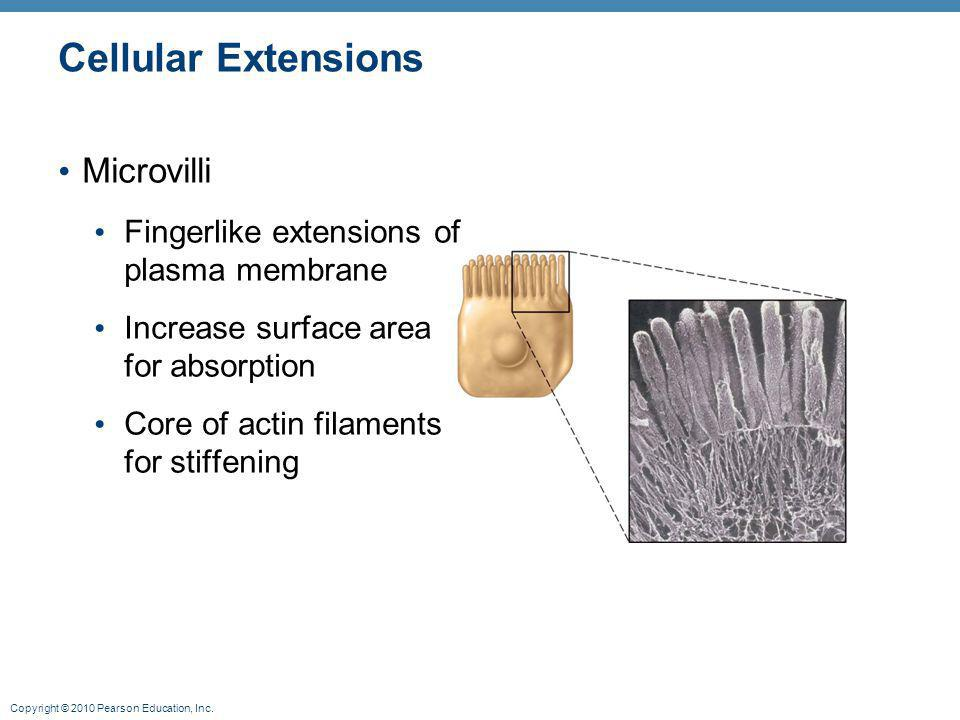 Copyright © 2010 Pearson Education, Inc. Cellular Extensions Microvilli Fingerlike extensions of plasma membrane Increase surface area for absorption