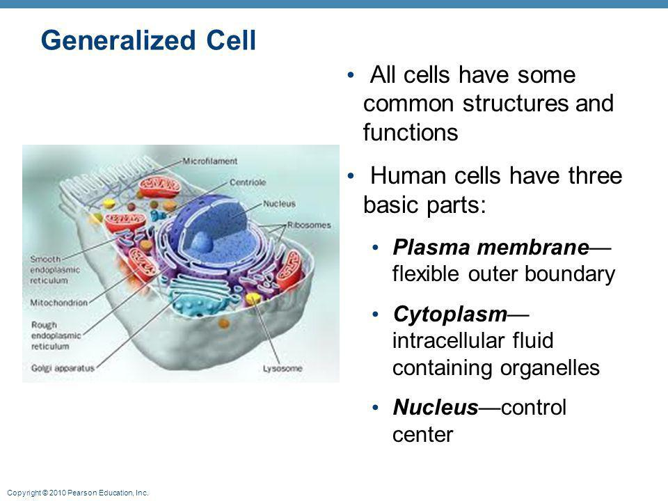 Copyright © 2010 Pearson Education, Inc. Generalized Cell All cells have some common structures and functions Human cells have three basic parts: Plas