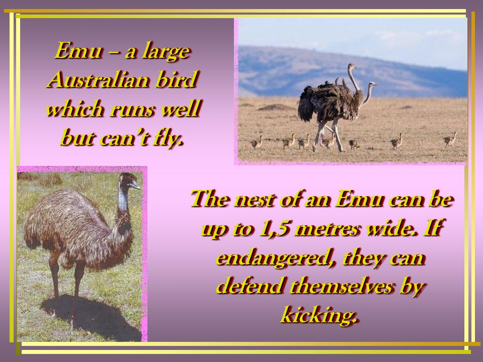 The nest of an Emu can be up to 1,5 metres wide.