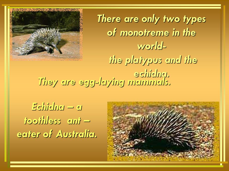 Echidna – a toothless ant – eater of Australia.