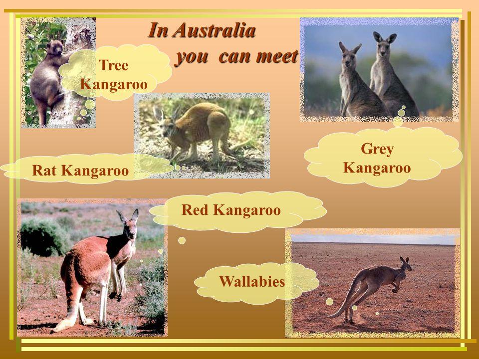 In Australia you can meet you can meet Tree Kangaroo Rat Kangaroo Red Kangaroo Wallabies Grey Kangaroo