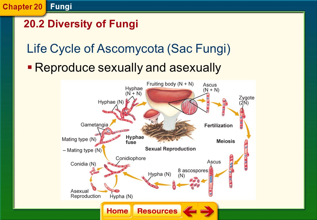 Characteristics of Ascomycota (Sac Fungi) Fungi  Most are multicellular, but some are unicellular.  Variety of habitats; saprophytic  Parasitic or