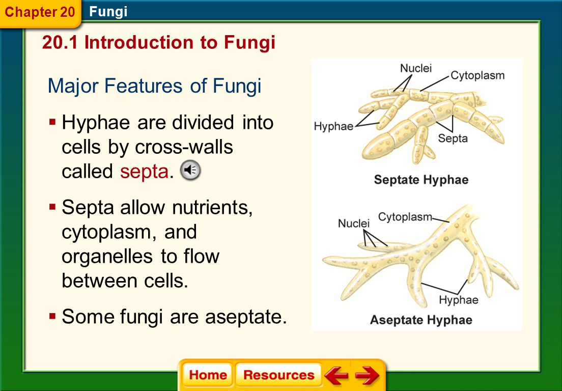 Major Features of Fungi  Cell wall composed of chitin Fungi  Hyphae form a netlike mass called a mycelium.  Hyphae provide a larger surface area fo