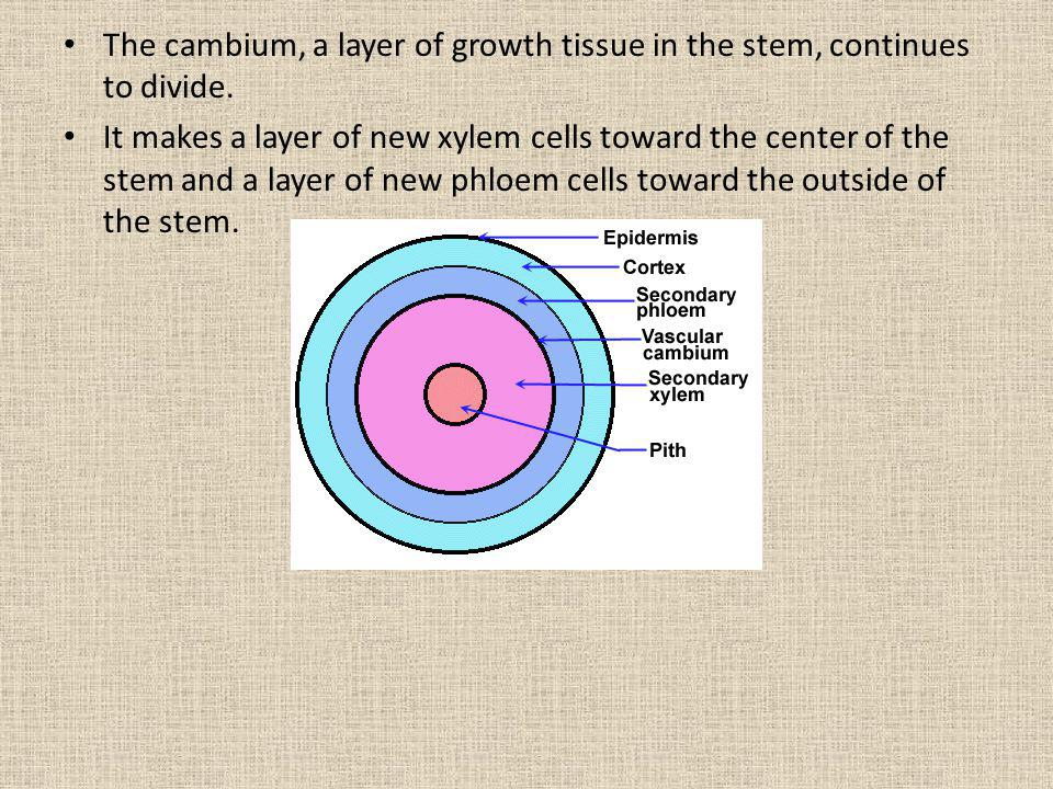 The cambium, a layer of growth tissue in the stem, continues to divide. It makes a layer of new xylem cells toward the center of the stem and a layer