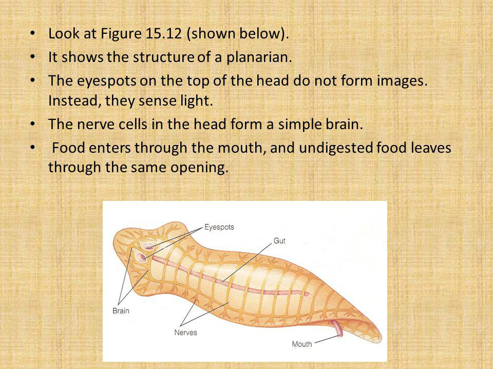 Look at Figure 15.12 (shown below).It shows the structure of a planarian.