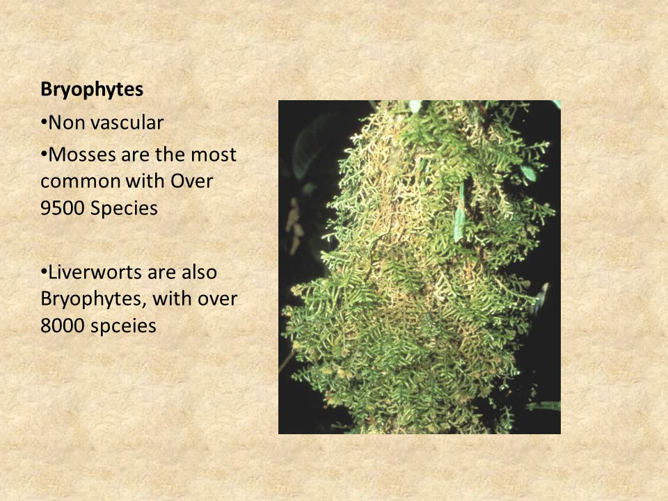 Bryophytes Non vascular Mosses are the most common with Over 9500 Species Liverworts are also Bryophytes, with over 8000 spceies