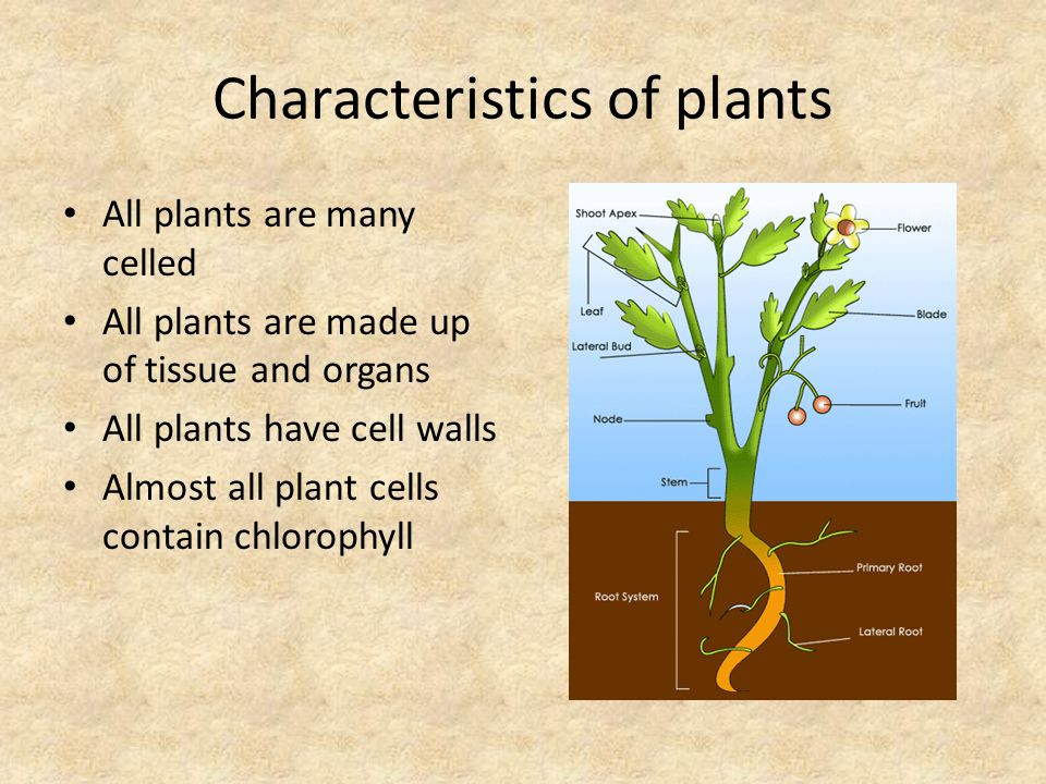 Characteristics of plants All plants are many celled All plants are made up of tissue and organs All plants have cell walls Almost all plant cells contain chlorophyll