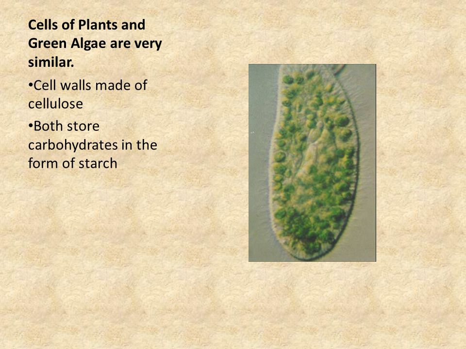 Cells of Plants and Green Algae are very similar.