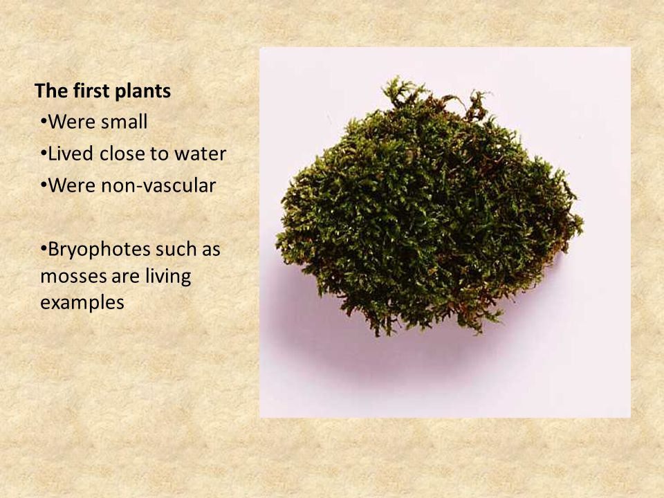 The first plants Were small Lived close to water Were non-vascular Bryophotes such as mosses are living examples