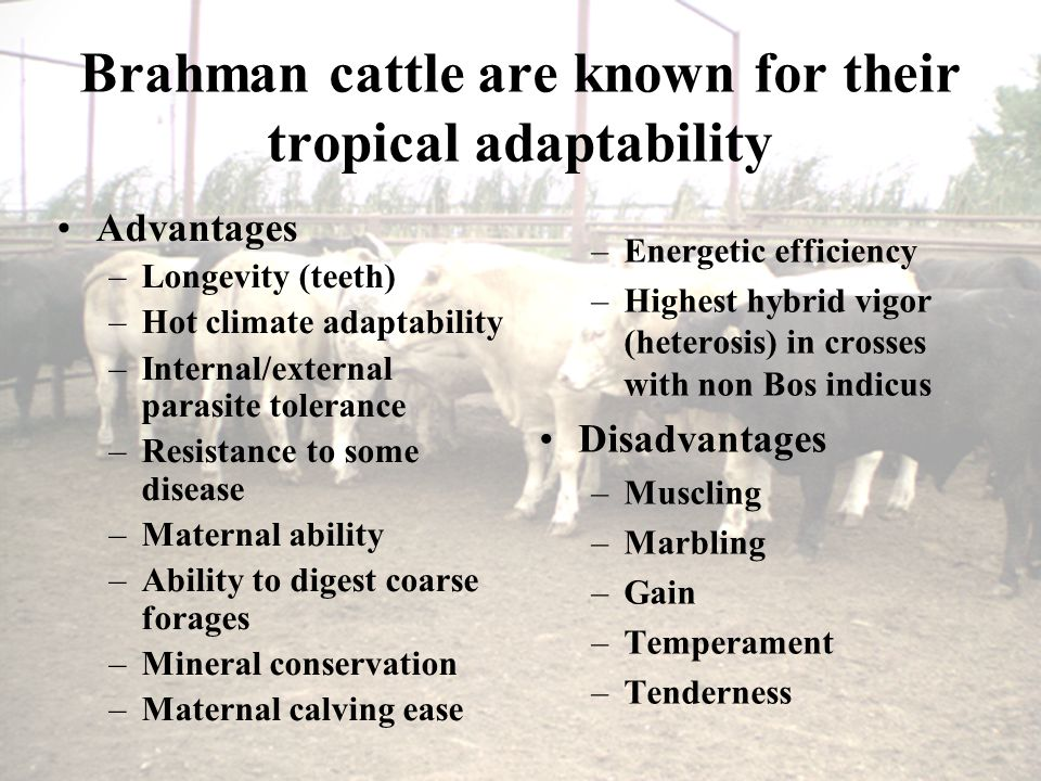 Brahman cattle are known for their tropical adaptability Advantages –Longevity (teeth) –Hot climate adaptability –Internal/external parasite tolerance