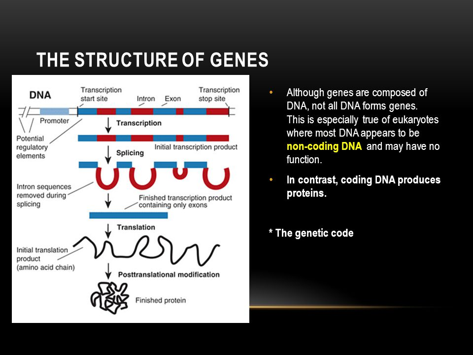 THE STRUCTURE OF GENES Although genes are composed of DNA, not all DNA forms genes. This is especially true of eukaryotes where most DNA appears to be