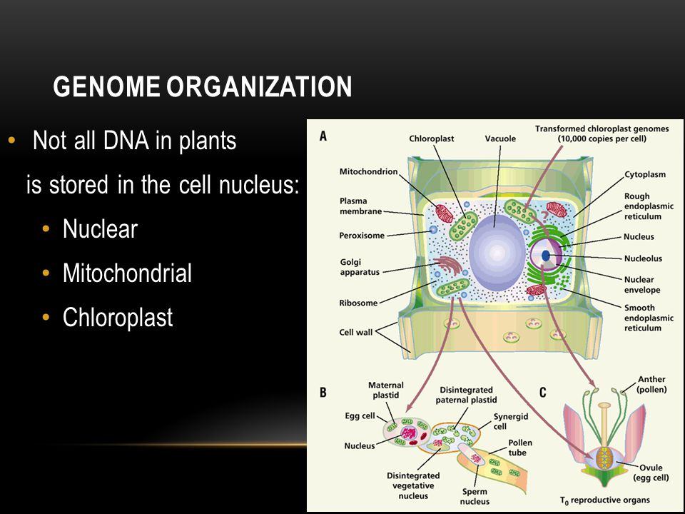 GENOME ORGANIZATION Not all DNA in plants is stored in the cell nucleus: Nuclear Mitochondrial Chloroplast
