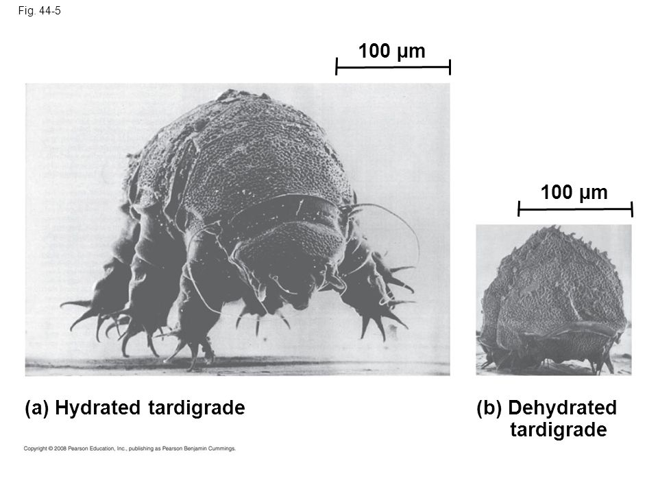 Fig. 44-5 (a) Hydrated tardigrade (b) Dehydrated tardigrade 100 µm