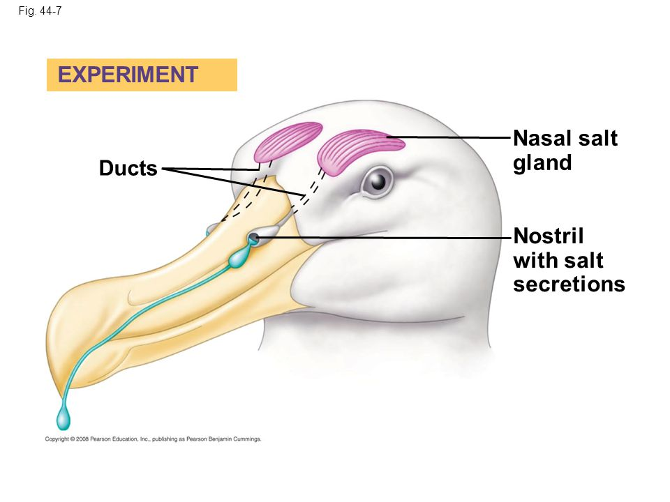 Fig. 44-7 Ducts Nostril with salt secretions Nasal salt gland EXPERIMENT