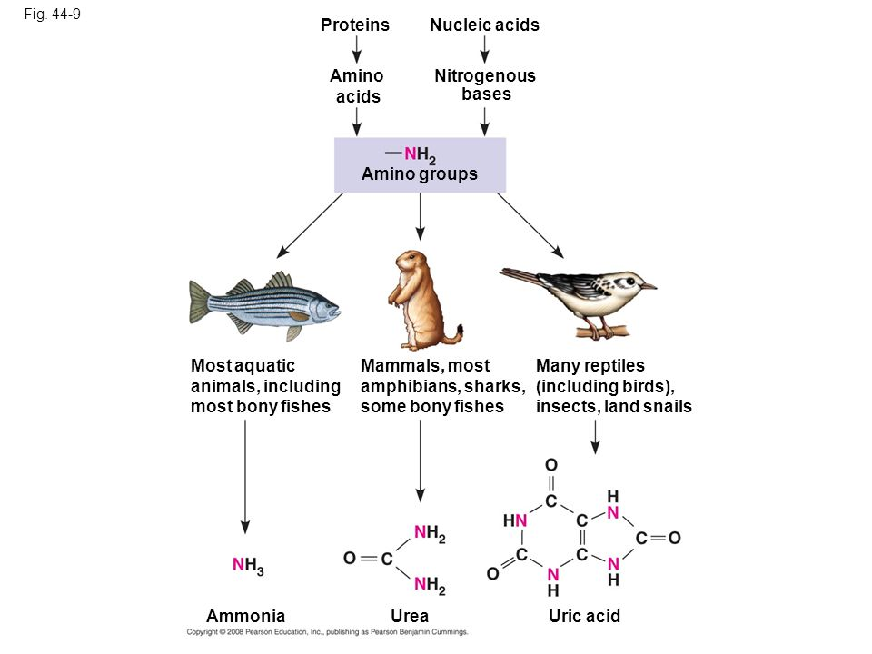 Fig. 44-9 Many reptiles (including birds), insects, land snails AmmoniaUric acid Urea Most aquatic animals, including most bony fishes Mammals, most a
