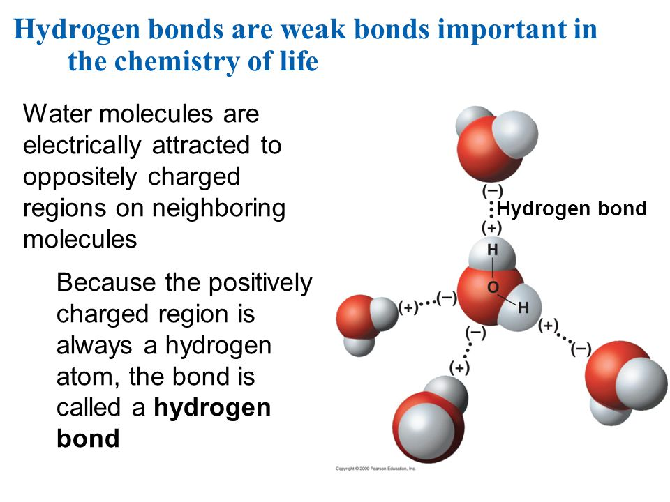 Hydrogen bond Water molecules are electrically attracted to oppositely charged regions on neighboring molecules Because the positively charged region