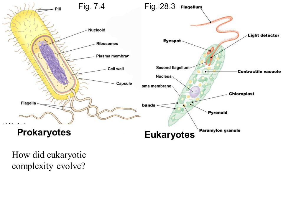 Prokaryotes Eukaryotes Fig. 7.4Fig. 28.3 How did eukaryotic complexity evolve