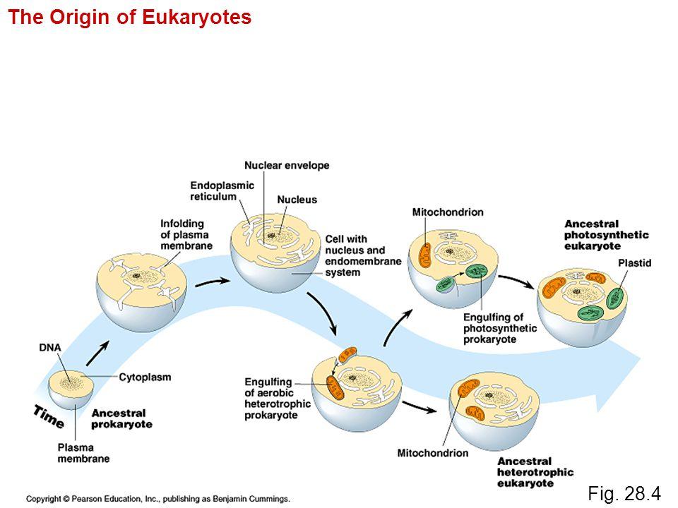 Fig. 28.4 The Origin of Eukaryotes