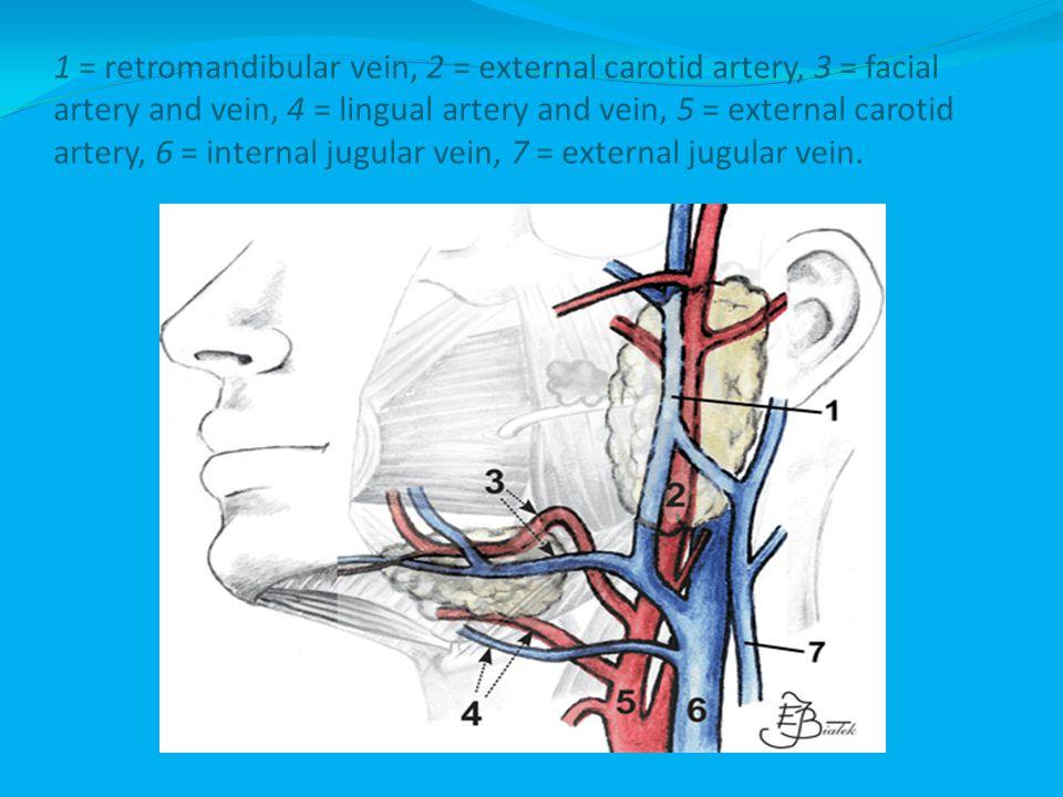 1 = retromandibular vein, 2 = external carotid artery, 3 = facial artery and vein, 4 = lingual artery and vein, 5 = external carotid artery, 6 = internal jugular vein, 7 = external jugular vein.
