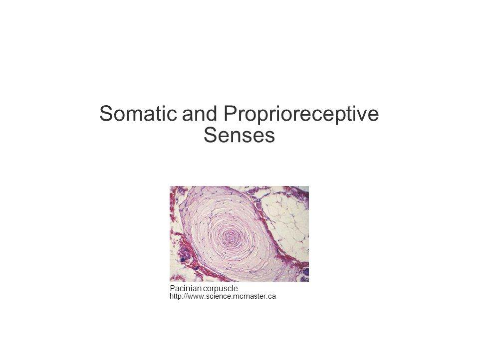 Somatic and Proprioreceptive Senses Pacinian corpuscle http://www.science.mcmaster.ca