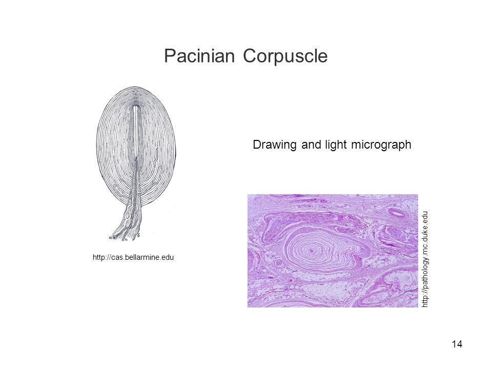 14 Pacinian Corpuscle http://cas.bellarmine.edu Drawing and light micrograph http://pathology.mc.duke.edu