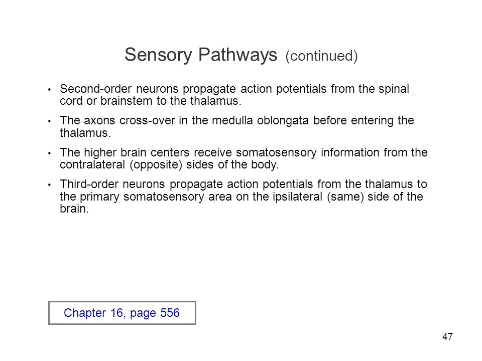 47 Sensory Pathways (continued) Second-order neurons propagate action potentials from the spinal cord or brainstem to the thalamus.