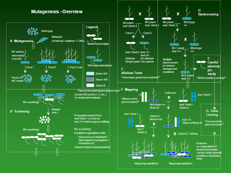 """Wild type Mutagen (chemical, radiation, T-DNA,…) A Mutagenesis M1 plants Pools of M2 seeds Pool 2Pool 1 Harvested In pools """"Recessive phenotypes appea"""