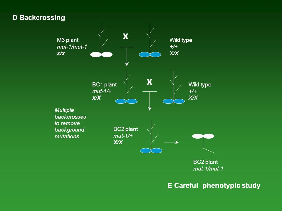 M3 plant mut-1/mut-1 x/x x D Backcrossing Wild type +/+ X/X Multiple backcrosses to remove background mutations BC1 plant mut-1/+ x/X x Wild type +/+