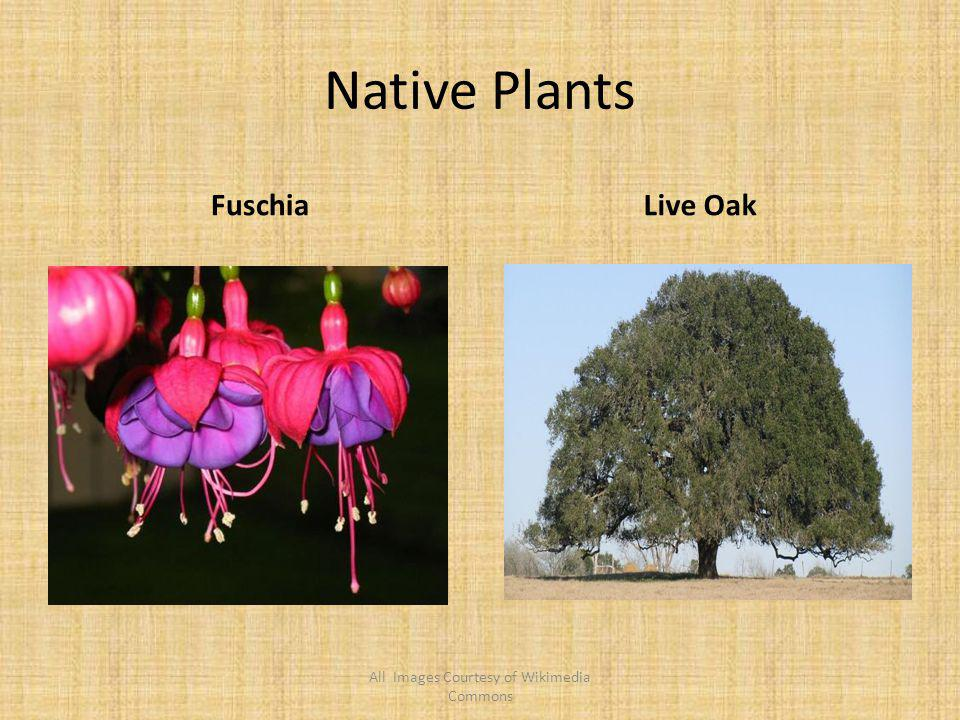Native Plants FuschiaLive Oak All Images Courtesy of Wikimedia Commons