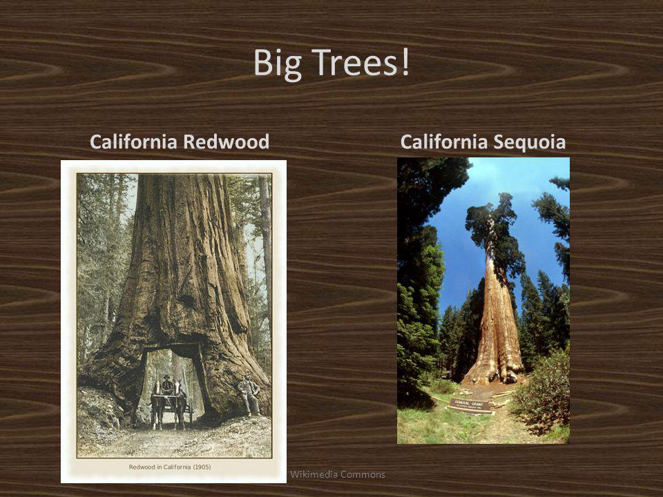 Big Trees! California RedwoodCalifornia Sequoia Wikimedia Commons