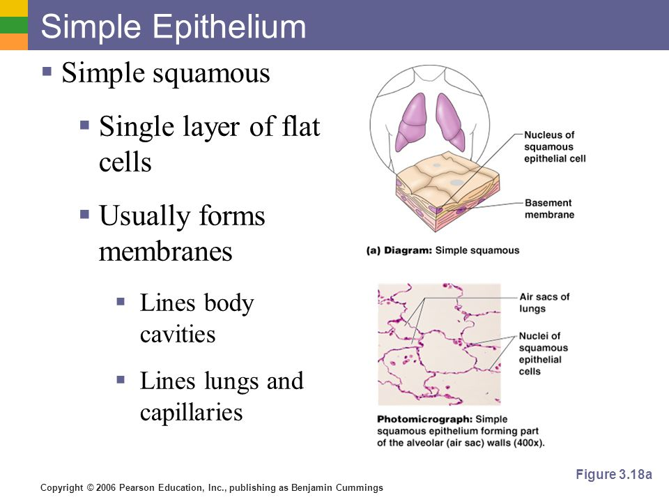 Copyright © 2006 Pearson Education, Inc., publishing as Benjamin Cummings Simple Epithelium  Simple squamous  Single layer of flat cells  Usually forms membranes  Lines body cavities  Lines lungs and capillaries Figure 3.18a